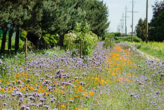 Urban Refuge: How Cities Can Help Rebuild Declining Bee Populations
