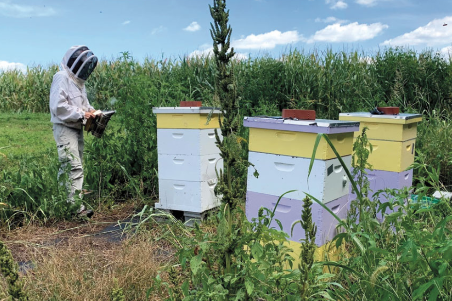 Why Gentle Honeybee Hives Are Less Resilient