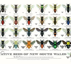 Australian native bees posters- Gina Cranson
